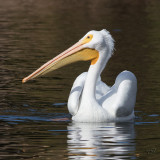Pélican d'AmériqueAmerican White Pelican