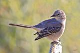Moqueur polyglotteNorthern Mockingbird