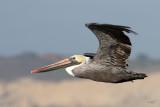 Pélican brunBrown Pelican
