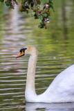 Cygne tuberculéMute Swan