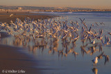 Gulls in flight 12-18-17 5.jpg