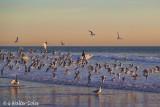 Gulls in flight 12-18-17 7 surfers 2.jpg