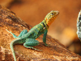 Eastern Collared Lizard (Crotophytus collaris collaris)