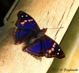 Agathina Emperor (Doxocopa agathina)