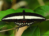 Hector's Swallowtail (Papilio hectorides)
