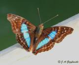 Turquoise Emperor (Doxocopa laurentia)