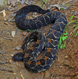 Timber Rattlesnake (Crotalus horridus)