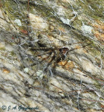 Lampshade Weaver (Hypochilus coylei)