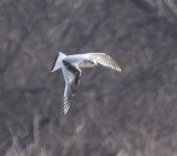 Little Gull--first-winter