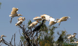 Cattle Egrets and Little Blue Heron