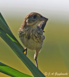 Seaside Sparrow--juvenile