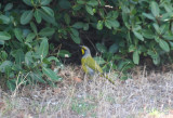 Passeriformes: Malaconotidae - Bushshrikes