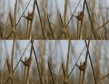 Passeriformes: Troglodytidae - Wrens