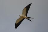 Swallow-tailed Kite (Elanoides forficatus) Suriname - Para