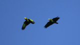 Orange-winged Amazon (Amazona amazonica) Suriname - Commewijne