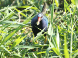 Purple Gallinule (Porphyrio martinica) Suriname - Paramaribo
