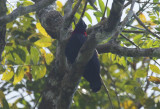Purple-throated Fruitcrow (Querula purpurata) Suriname - Para, Colakreek
