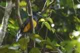 Green-backed Trogon (Trogon viridis) Suriname - Para, Colakreek