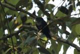 Black Manakin (Xenopipo atronitens) *Male* Suriname - Para, Powakka
