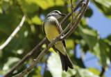 Tropical Kingbird (Tyrannus melancholicus) Suriname - Paramaribo