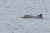 Guyana Dolphin (Sotalia guianensis) Suriname - Paramaribo