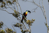 Channel-billed Toucan (Ramphastos vitellinus vitellinus) Suriname - Para, Powakka