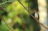 Arrowhead Piculet (Picumnus minutissimus) Suriname - Commewijne, Peperpot Nature Reserve
