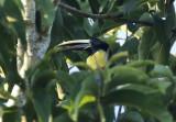 Black-necked Aracari (Pteroglossus aracari atricollis) Suriname - Commewijne, Peperpot Nature Reserve