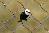 White-headed Marsh Tyrant (Arundinicola leucocephala) *male* Suriname - Airport