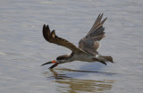 Black Skimmer (Rynchops niger) Suriname - Paramaribo, Weg Naar Zee