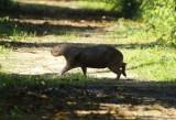 Capybara (Hydrochoerus hydrochaeris) Suriname - Commewijne, Peperpot Nature Reserve