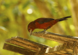 Silver-beaked Tanager (Ramphocelus carbo) Suriname - Paramaribo, Eco Resort Inn