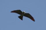Plumbeous Kite (Ictinia plumbea) Suriname - Para, Powakka