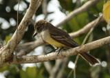 Short-crested Flycatcher (Myiarchus ferox) Suriname - Para, Powakka