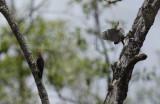 Red-crowned Woodpecker (Melanerpes rubricapillus rubricapillus) Suriname - Commewijne, Warappakreek