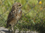 Burrowing Owl (Athene cunicularia) Suriname - Airport