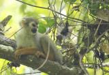 Guianan Squirrel Monkey (Saimiri sciureus sciureus) Suriname - Commewijne, Peperpot Nature Reserve