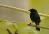 Blue-black Grassquit (Volatinia jacarina) Suriname - Paramaribo, Eco Resort Inn