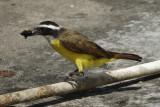 Great Kiskadee (Pitangus sulphuratus) Suriname - Paramaribo