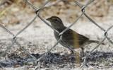 Passeriformes: Passerellidae - New World Sparrows