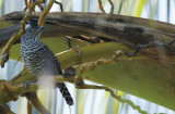 Barred Antshrike (Thamnophilus doliatus doliatus) *Male* Suriname - Commewijne, Plantage Bakkie