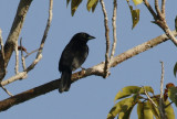 Passeriformes: Thraupidae - Tanagers and allies