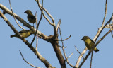 Passeriformes: Fringillidae - Finches, Euphonias.