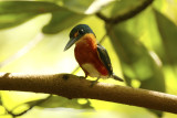 American Pygmy Kingfisher (Chloroceryle aenea) Suriname - Commewijne, Warappakreek