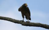 Rufous Crab Hawk (Buteogallus aequinoctialis) Suriname - Commewijne, Warappakreek