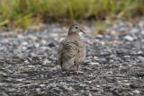 Common Ground Dove (Columbina passerina) Suriname - Airport