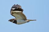 Nacunda Nighthawk (Chordeiles nacunda)