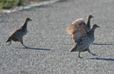 Galliformes: Phasianidae - Turkeys, Grouse, Pheasants, Partridges