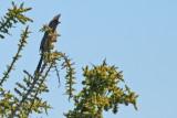 Coliiformes: Coliidae - Mousebirds