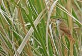 Curve-billed Reedhaunter (Limnornis curvirostris)